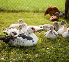 Muscovy Duck young birds group by Arletta Cwalina