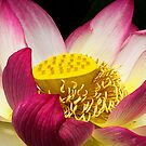 Lotus Flower by Robyn Carter