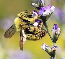 Carpenter Bee and Purple Flowers by Chantelle Benade