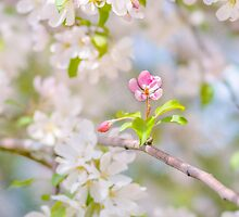 Apple blossom - Beauty by luckypixel