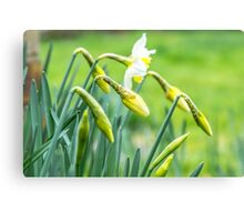 Daffodils in a Kent garden Canvas Print