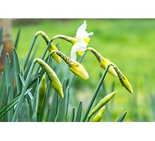 Daffodils in a Kent garden Photographic Print