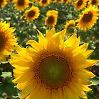 The Sunflower by Les Meehan
