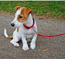 Jack Russel puppy by Paola Svensson