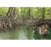 1127-Mangrove Jungle Tiger Photographic Print