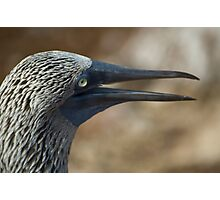 Blue Footed Booby Photographic Print