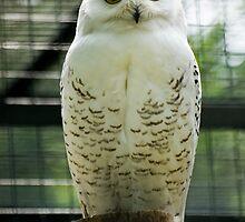 White Owl by damokeen