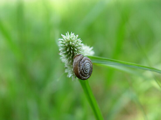 Snail on Sedge by May Lattanzio