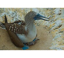 Blue Footed Booby with chick Photographic Print