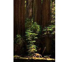 A Deer In The Redwoods Photographic Print