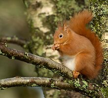 Scottish Red squirrel by wildlifephoto