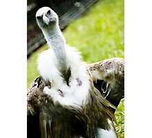 Posing Vulture Photographic Print