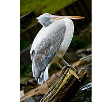 Crooked Pelican Photographic Print