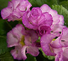 Primrose Delight by Jonice