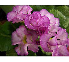 Primrose Delight Photographic Print
