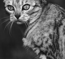 """Chat - Cat """" Peluche """" 05 (c)(h) ) by Olao-Olavia / Okaio Créations 300mm f.2.8 canon eos 5 1989 Sticker"""