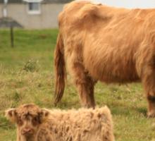 Highland cow and calf Scotland Sticker