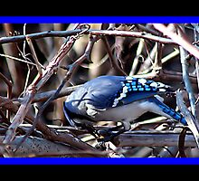 BLUEJAY 2 by BOLLA67