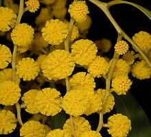 Australian Golden Wattle by MareeDavy