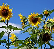 Sunflowers by Ruth Durose