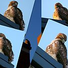 CITY  HAWK.....  Cold and Hungry but .................. in Charge..... by Larry Llewellyn