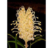 White Silky Oak Grevillea Photographic Print