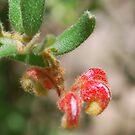 Proteaceae - Mountain Grevillea by Lozzar Flowers & Art