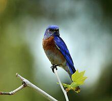 Blue Bird Pose by DARRIN ALDRIDGE