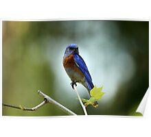 Blue Bird Pose Poster