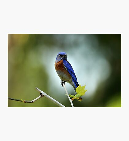 Blue Bird Pose Photographic Print