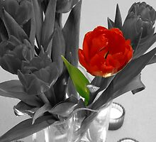 One red tulip on B&W image by Arve Bettum