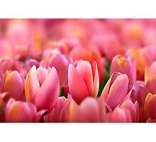 Modern Art Smart Stylish Wall Art Pink Tulips Photographic Print