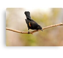MALE RED-WINGED BLACKBIRD Canvas Print
