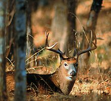 BUCK,CADES COVE by Chuck Wickham