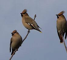 Waxwings by Ron Hindhaugh