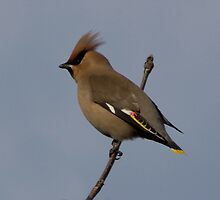 waxwing  by Ron Hindhaugh