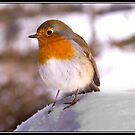 Robin in the snow at Bolton Abbey by Shaun Whiteman