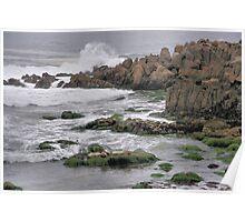 Wild Seal at Monterey Bay Poster