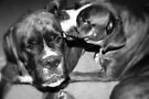 This is the way we wash our ears -Boxer Dogs Series- by Evita