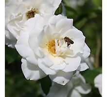 Bee Among White Roses Photographic Print