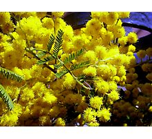 Yellow scented Mimosa Photographic Print