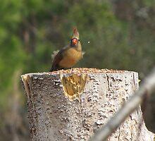 windy day cardinal by tomcat2170