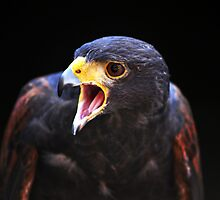 harris hawk by Alexandr Grichenko