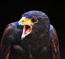 harris hawk by Alexandr Grichenko