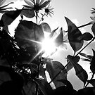 Sun through Flowers Black&White by TLWhite