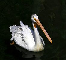 American White pelican by becky-lou