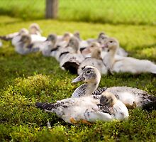Muscovy Duck farm birds group by Arletta Cwalina