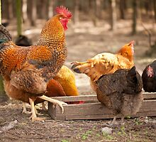 Young Rhode Island Red hens by Arletta Cwalina
