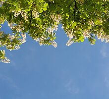 View at bright flowers of Aesculus by Arletta Cwalina