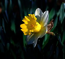 Daffy Morning by Lois  Bryan